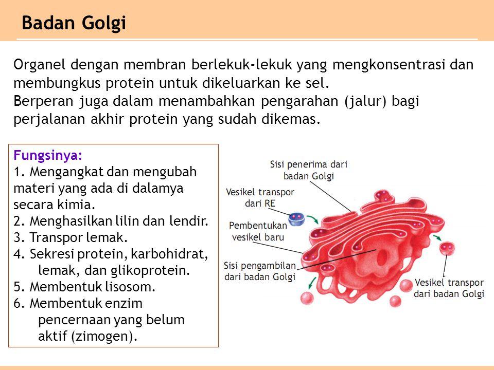 Badan Golgi Organel dengan membran berlekuk-lekuk yang mengkonsentrasi dan membungkus protein untuk dikeluarkan ke sel.
