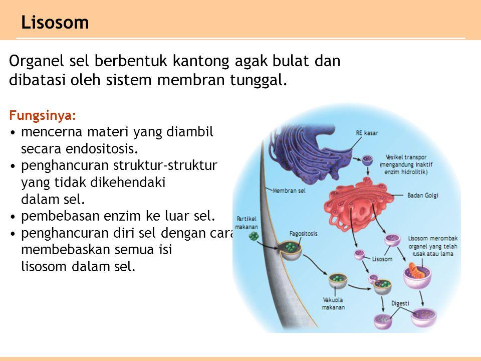 Lisosom Organel sel berbentuk kantong agak bulat dan dibatasi oleh sistem membran tunggal. Fungsinya:
