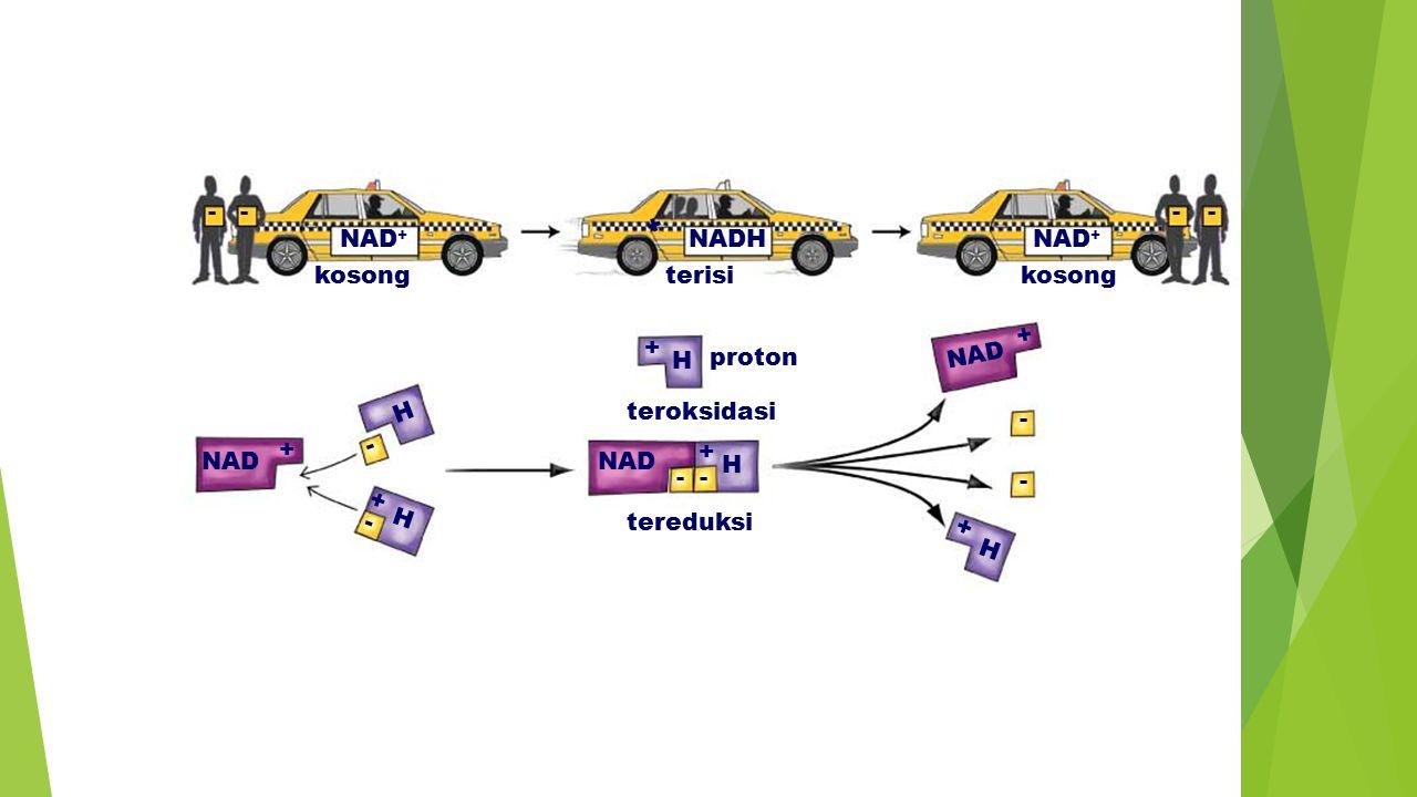 - - - - + NAD+ NADH NAD+ kosong terisi kosong + + H proton NAD H
