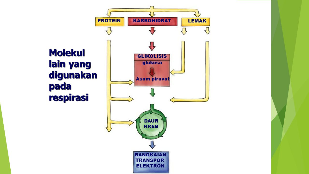 Molekul lain yang digunakan pada respirasi