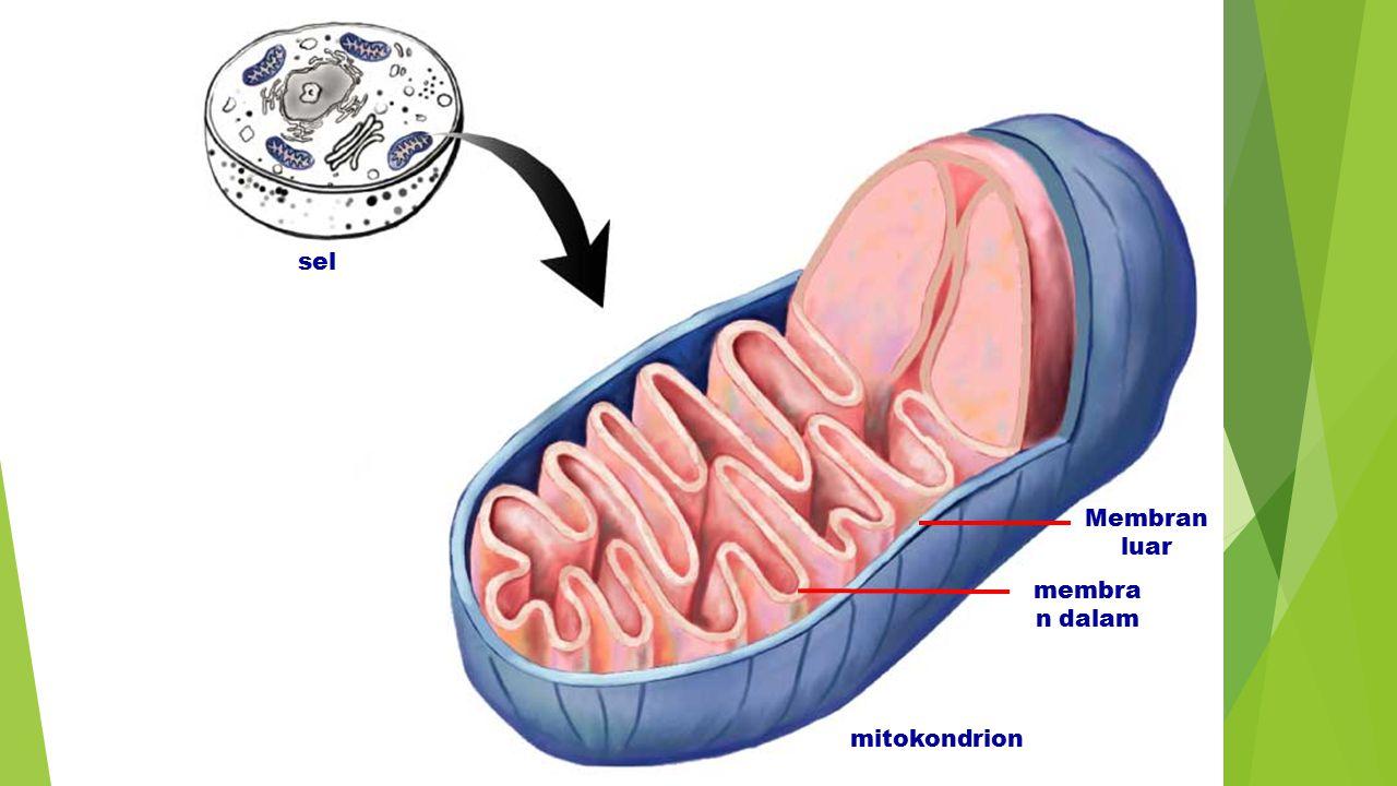 sel Membran luar membran dalam mitokondrion Figure: 07-06a Title: