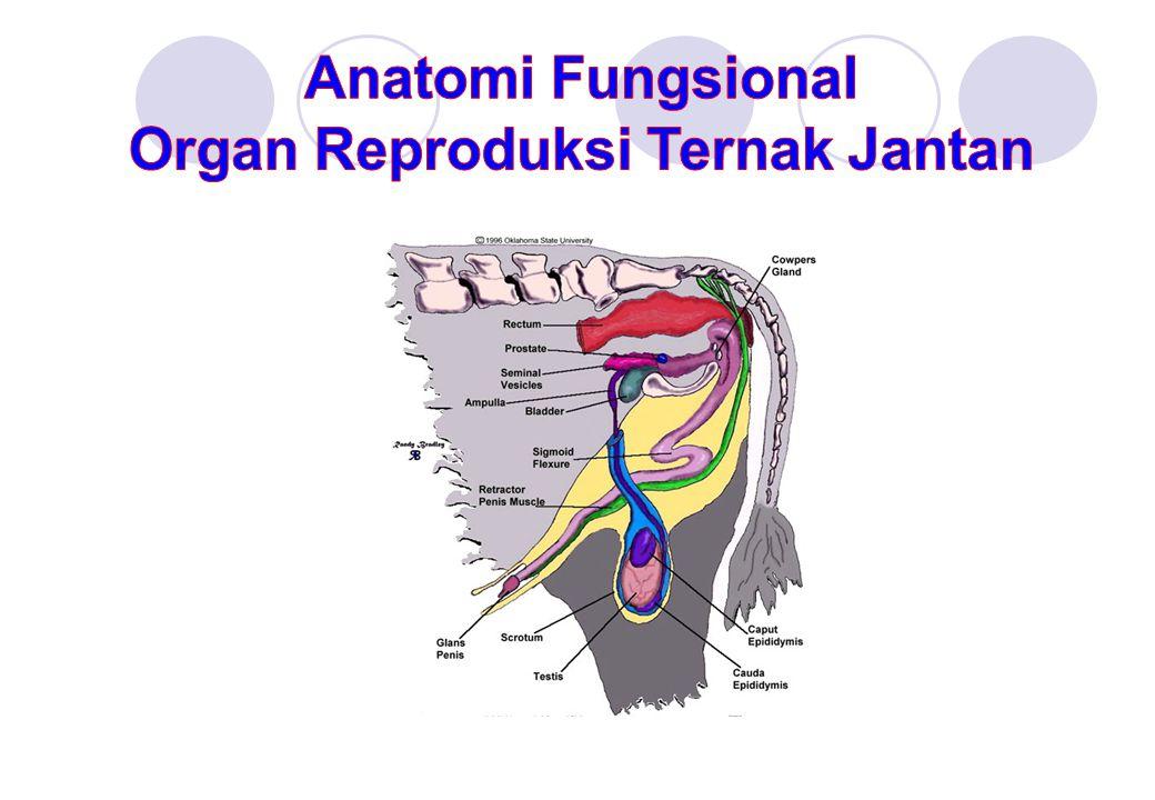 Organ Reproduksi Ternak Jantan