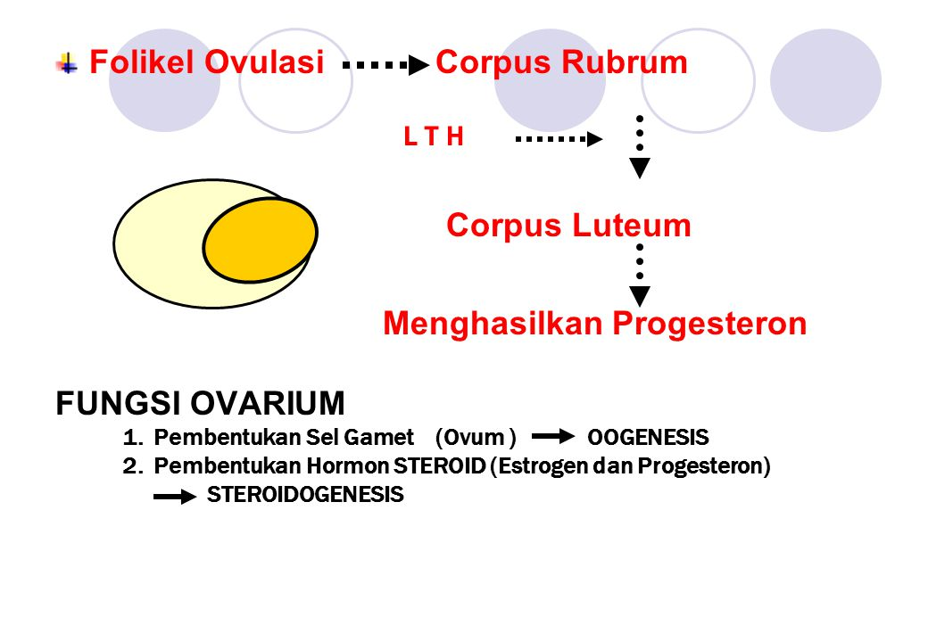 L T H Corpus Luteum Folikel Ovulasi Corpus Rubrum FUNGSI OVARIUM