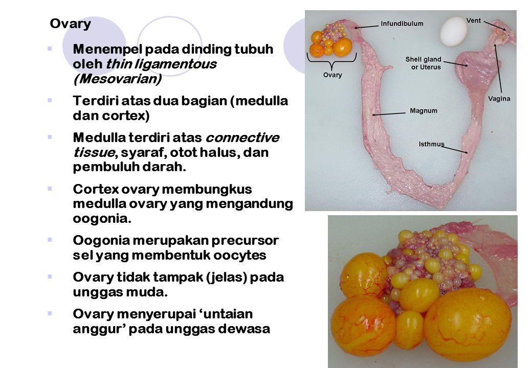 Ovary Menempel pada dinding tubuh oleh thin ligamentous (Mesovarian) Terdiri atas dua bagian (medulla dan cortex)