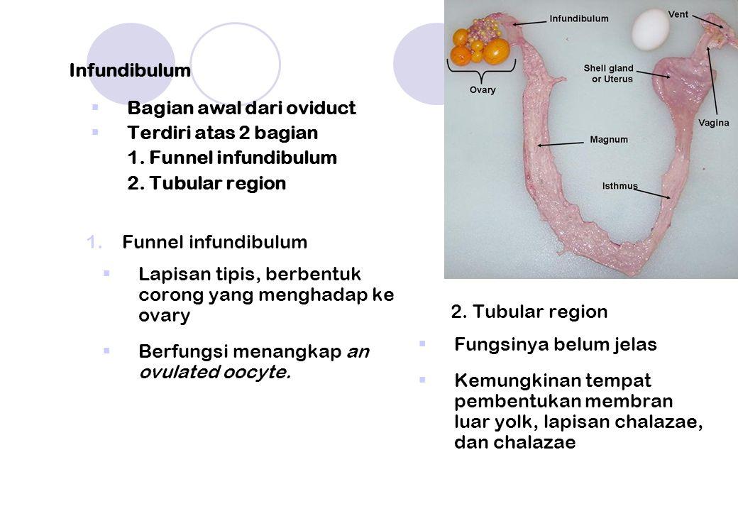 Infundibulum Bagian awal dari oviduct. Terdiri atas 2 bagian. 1. Funnel infundibulum. 2. Tubular region.