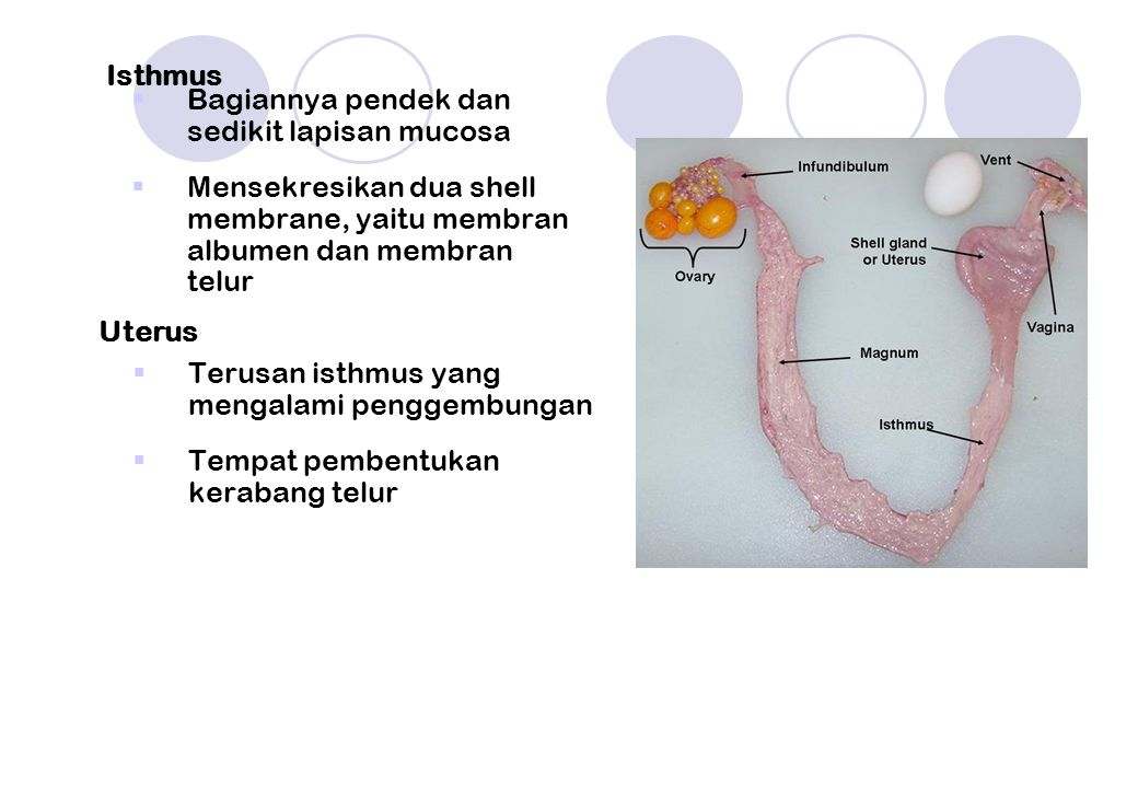 Isthmus Bagiannya pendek dan sedikit lapisan mucosa. Mensekresikan dua shell membrane, yaitu membran albumen dan membran telur.