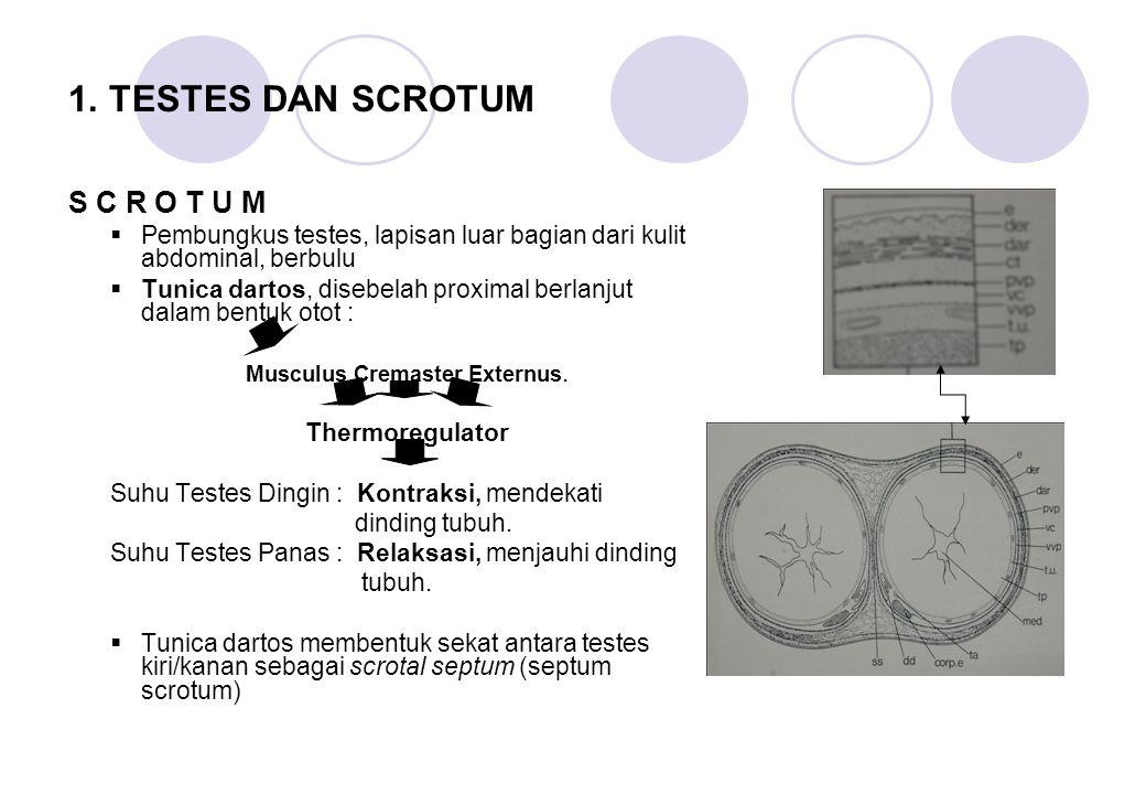 Musculus Cremaster Externus.