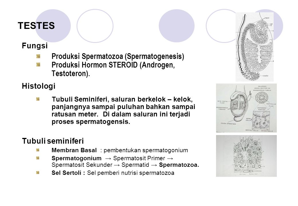 TESTES Produksi Spermatozoa (Spermatogenesis)