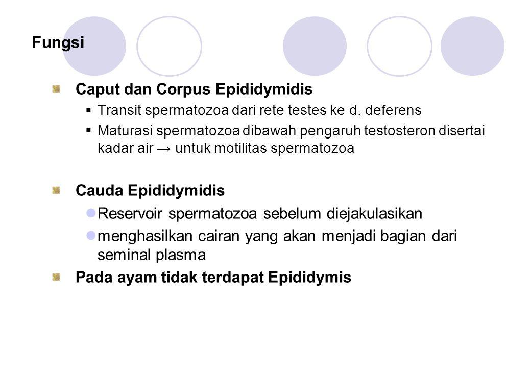 Fungsi Caput dan Corpus Epididymidis Cauda Epididymidis