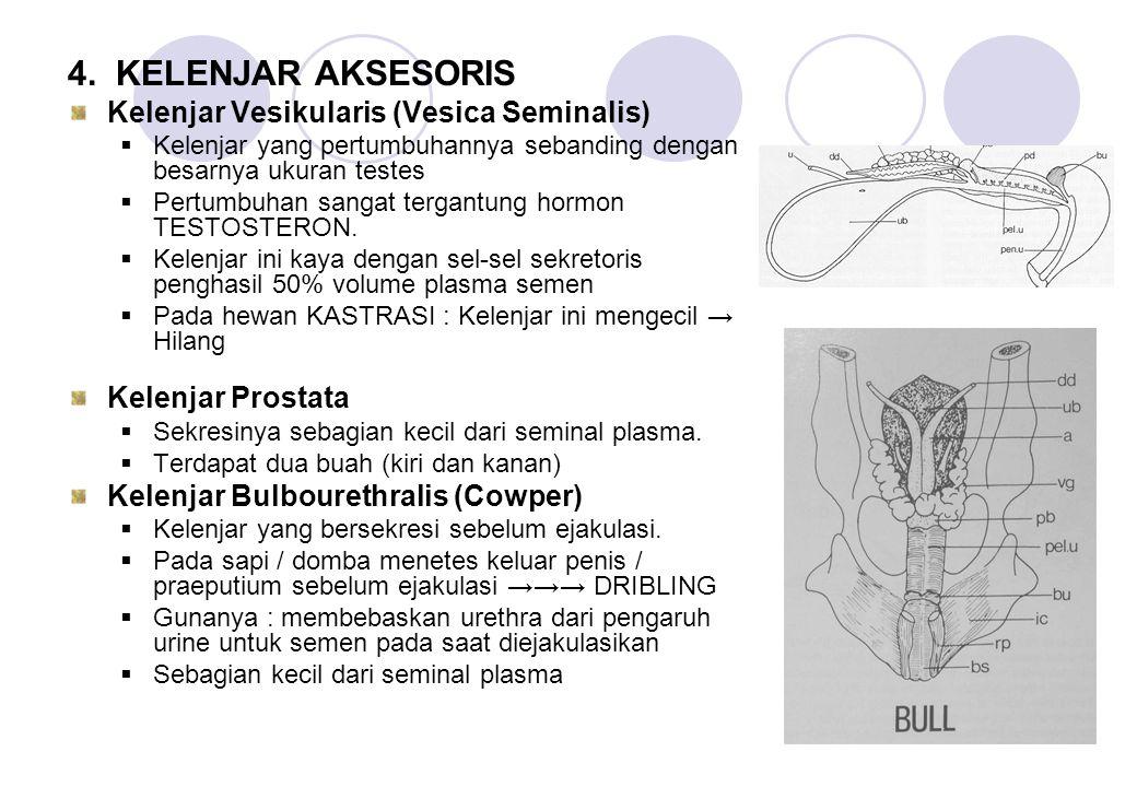 4. KELENJAR AKSESORIS Kelenjar Vesikularis (Vesica Seminalis)