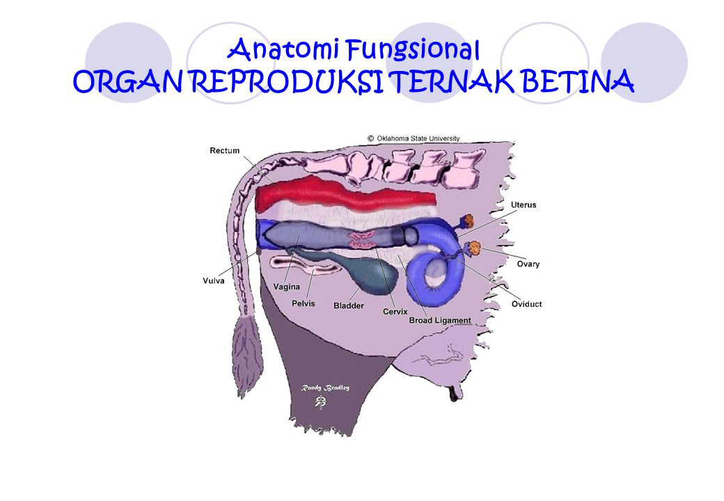Anatomi Fungsional ORGAN REPRODUKSI TERNAK BETINA
