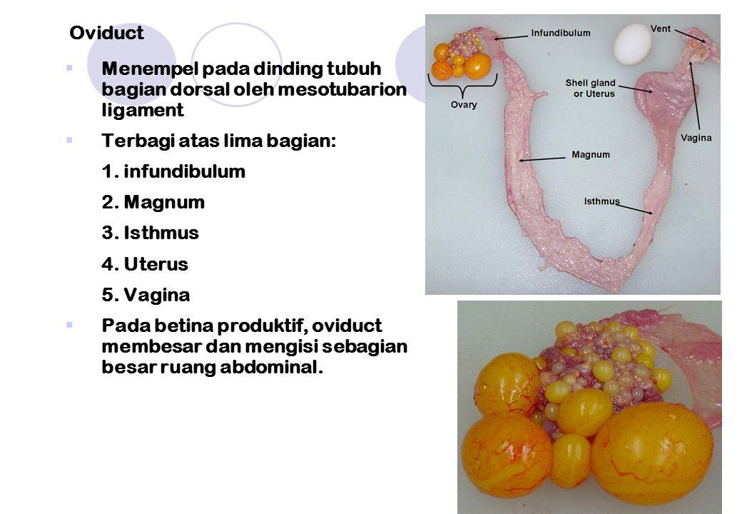 Oviduct Menempel pada dinding tubuh bagian dorsal oleh mesotubarion ligament. Terbagi atas lima bagian: