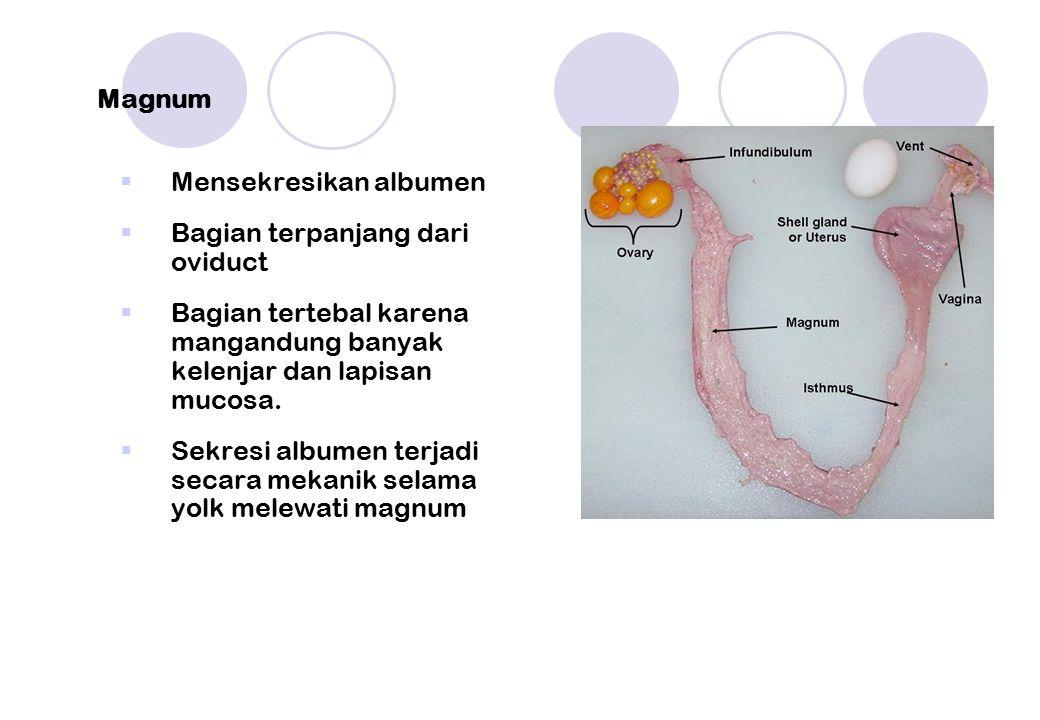 Magnum Mensekresikan albumen. Bagian terpanjang dari oviduct. Bagian tertebal karena mangandung banyak kelenjar dan lapisan mucosa.