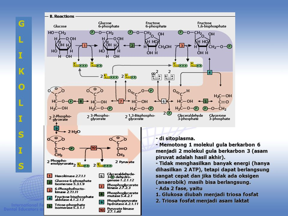 G L. I. K. O. S. - di sitoplasma. - Memotong 1 molekul gula berkarbon 6 menjadi 2 molekul gula berkarbon 3 (asam piruvat adalah hasil akhir).
