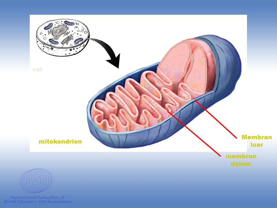 sel Membran luar mitokondrion membran dalam Figure: 07-06a Title: