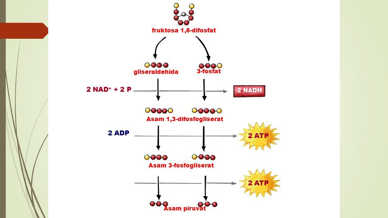 2 NAD+ + 2 P + 2 H+ 2 ADP 2 ATP 2 ADP 2 ATP fruktosa 1,6-difosfat
