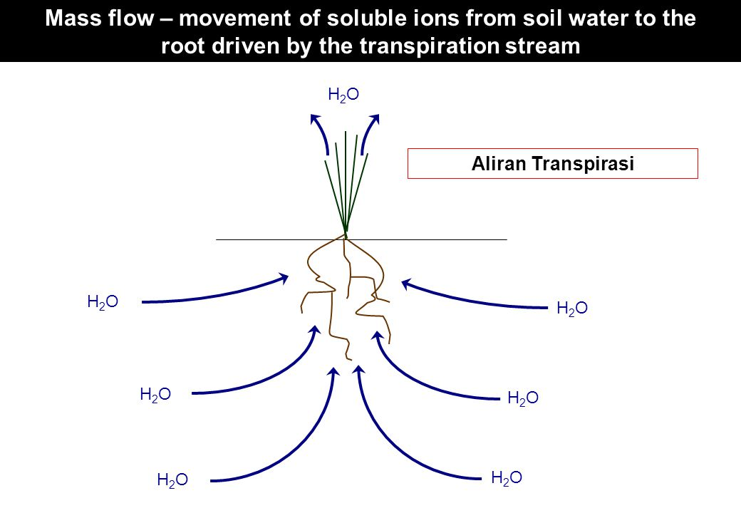 Mass flow – movement of soluble ions from soil water to the root driven by the transpiration stream