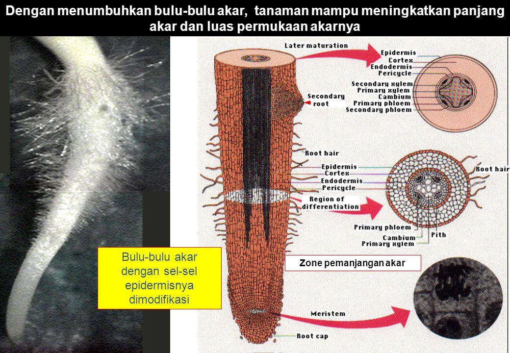 Bulu-bulu akar dengan sel-sel epidermisnya dimodifikasi