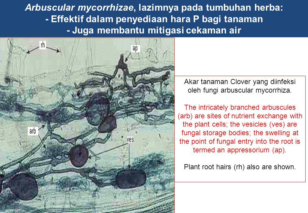 Arbuscular mycorrhizae, lazimnya pada tumbuhan herba: