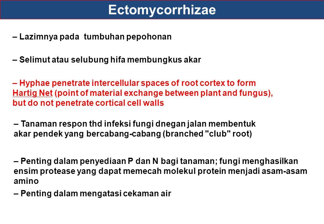 Ectomycorrhizae – Lazimnya pada tumbuhan pepohonan