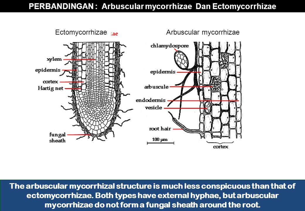 PERBANDINGAN : Arbuscular mycorrhizae Dan Ectomycorrhizae