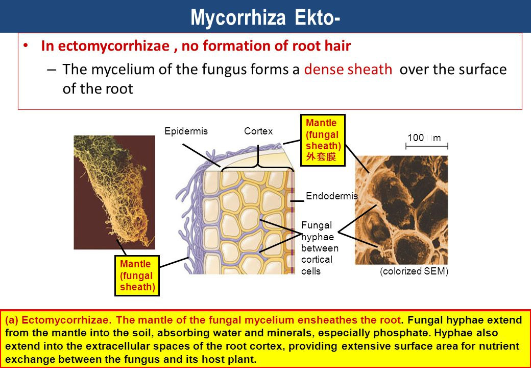 Mycorrhiza Ekto- In ectomycorrhizae , no formation of root hair