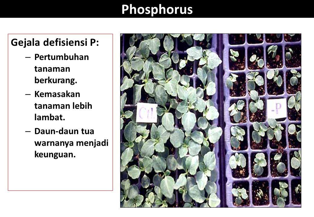 Phosphorus Gejala defisiensi P: Pertumbuhan tanaman berkurang.