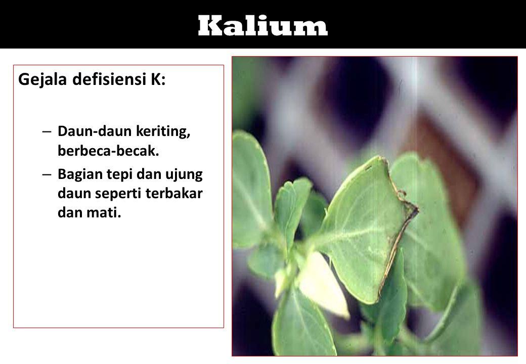 Kalium Gejala defisiensi K: Daun-daun keriting, berbeca-becak.