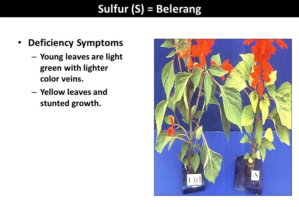Sulfur (S) = Belerang Deficiency Symptoms