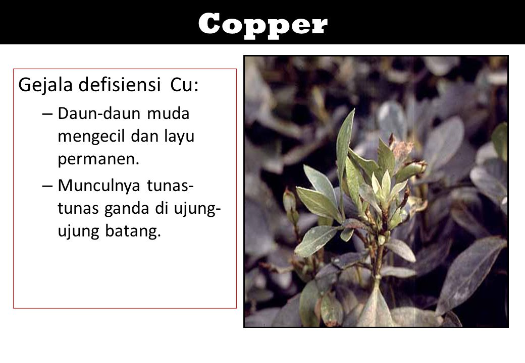 Copper Gejala defisiensi Cu: