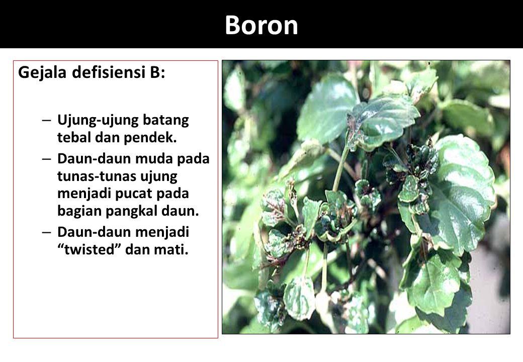Boron Gejala defisiensi B: Ujung-ujung batang tebal dan pendek.