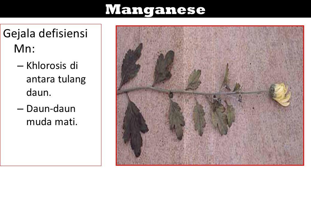 Manganese Gejala defisiensi Mn: Khlorosis di antara tulang daun.