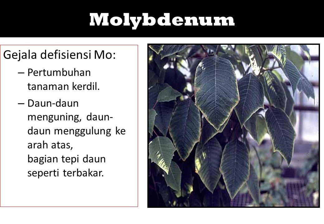 Molybdenum Gejala defisiensi Mo: Pertumbuhan tanaman kerdil.