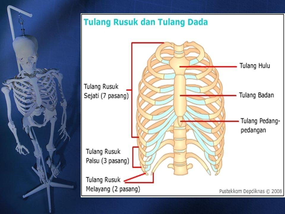 Tulang Rusuk