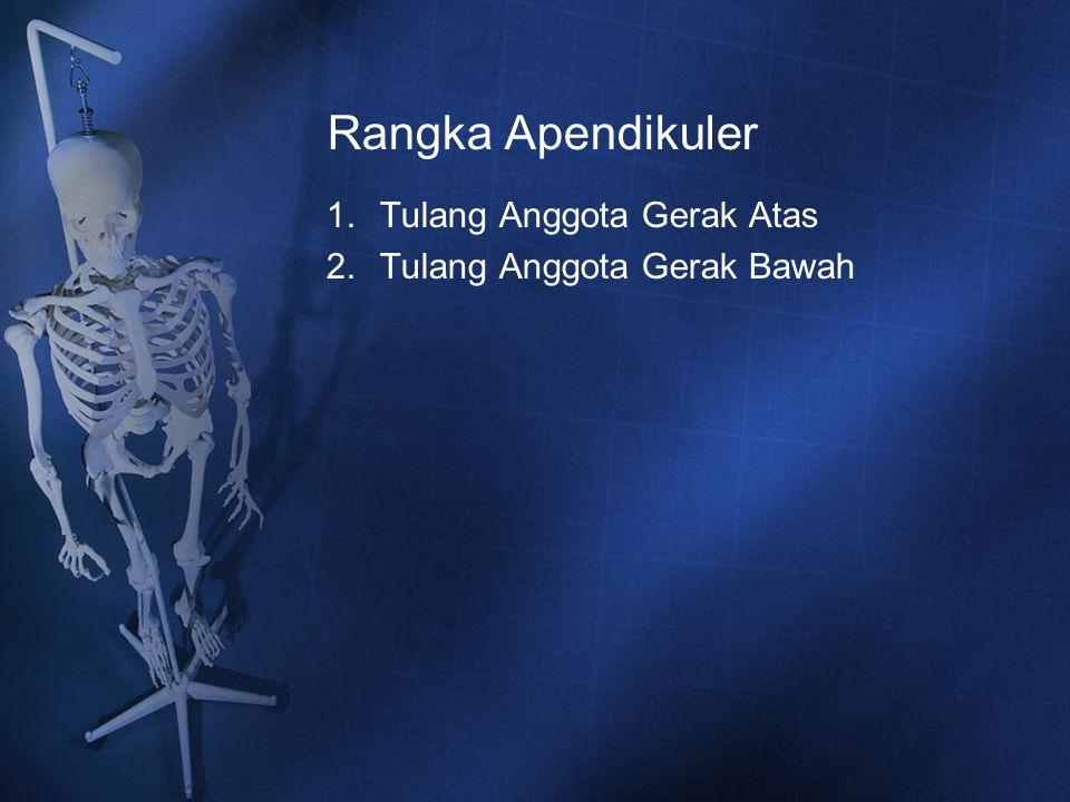 Rangka Apendikuler Tulang Anggota Gerak Atas