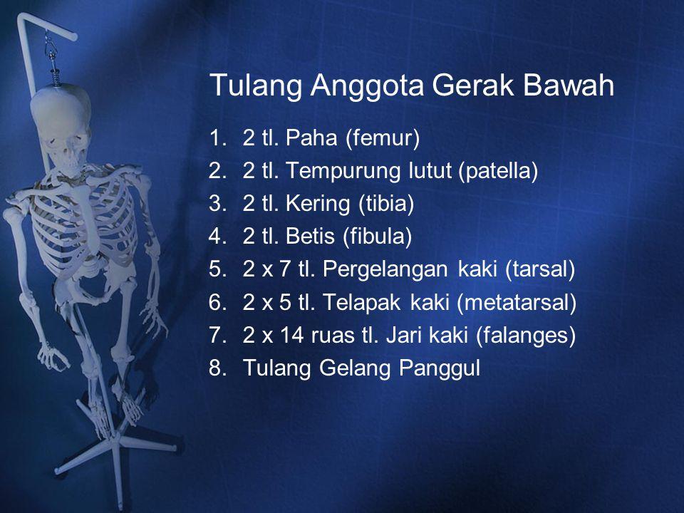 Tulang Anggota Gerak Bawah