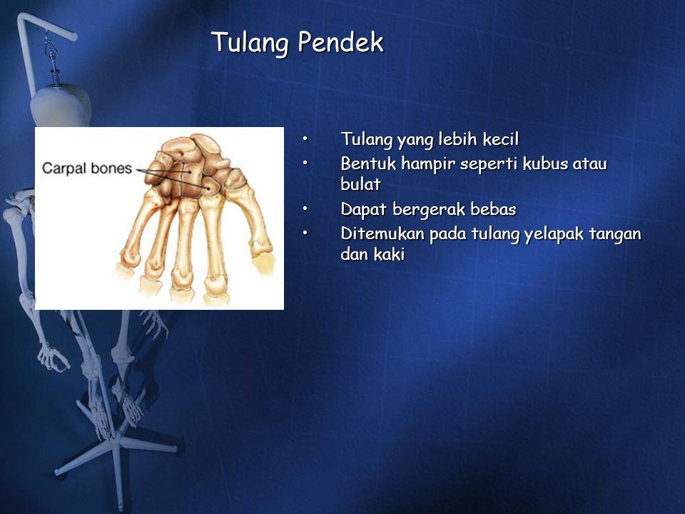 Tulang Pendek Tulang yang lebih kecil