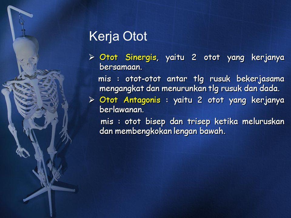 Kerja Otot Otot Sinergis, yaitu 2 otot yang kerjanya bersamaan.