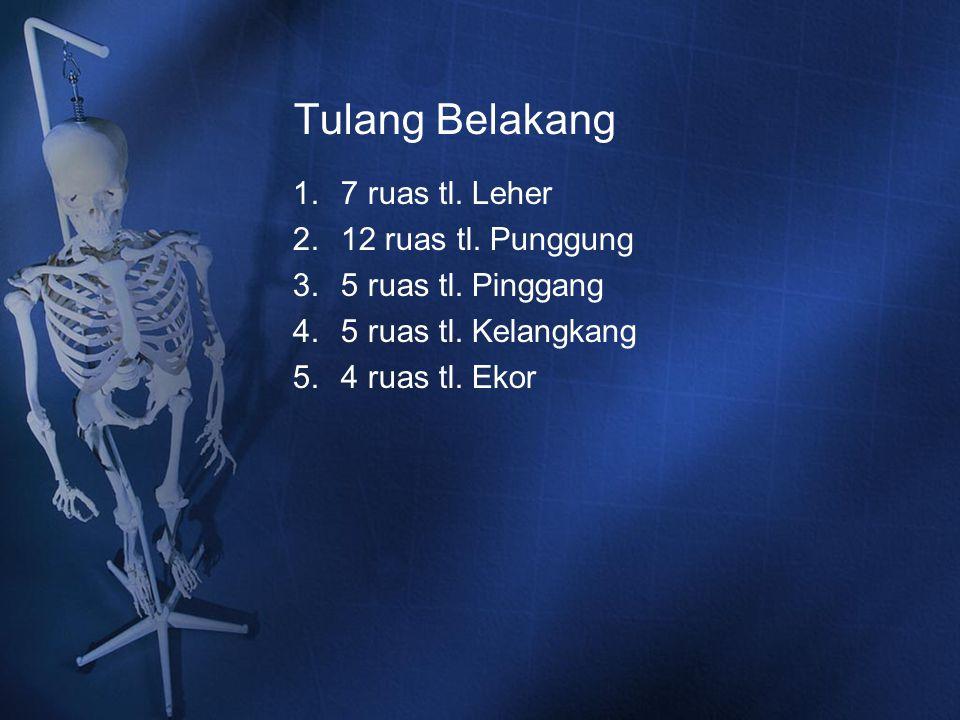 Tulang Belakang 7 ruas tl. Leher 12 ruas tl. Punggung