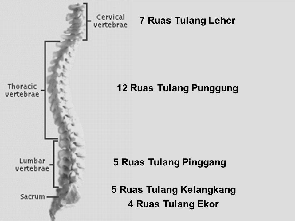 5 Ruas Tulang Kelangkang