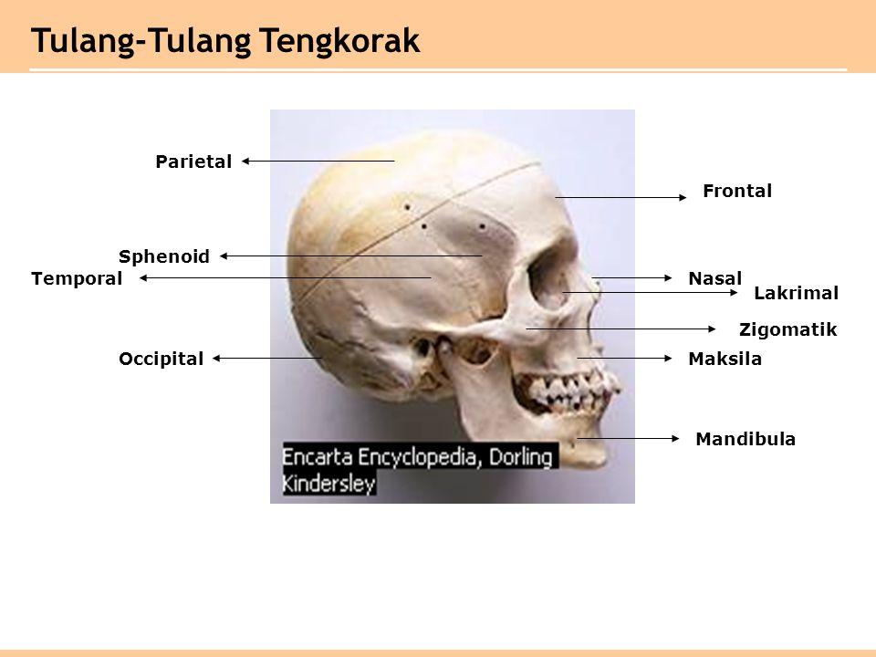 Tulang-Tulang Tengkorak