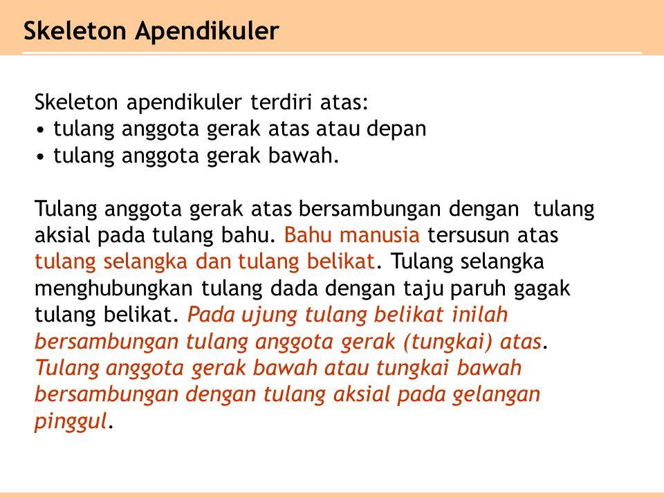 Skeleton Apendikuler Skeleton apendikuler terdiri atas: