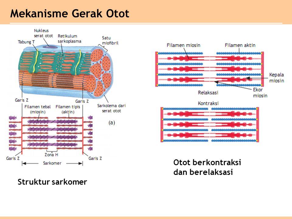 Mekanisme Gerak Otot Otot berkontraksi dan berelaksasi