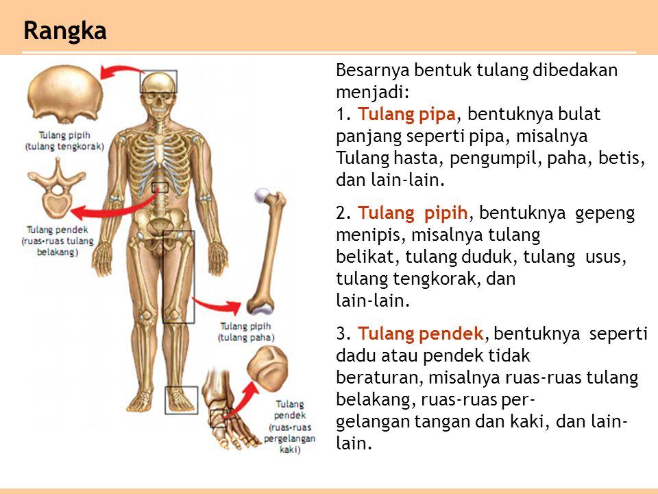 Rangka Besarnya bentuk tulang dibedakan menjadi:
