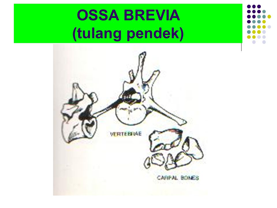 OSSA BREVIA (tulang pendek)