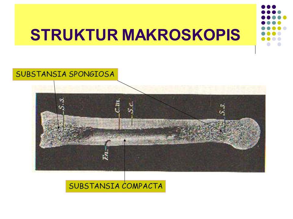 STRUKTUR MAKROSKOPIS SUBSTANSIA SPONGIOSA SUBSTANSIA COMPACTA