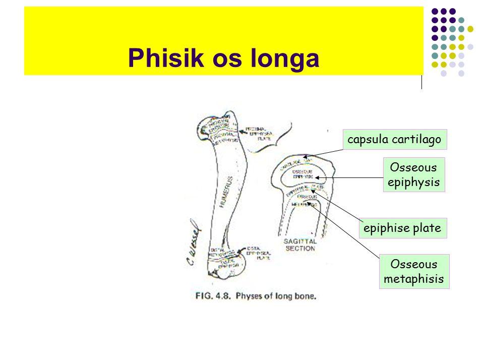 Phisik os longa capsula cartilago Osseous epiphysis epiphise plate