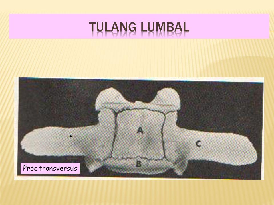 TULANG LUMBAL Proc transversus