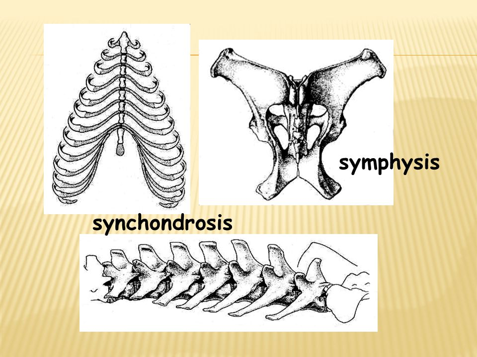 symphysis synchondrosis
