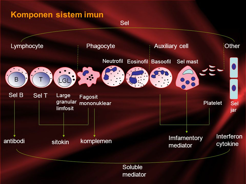 Komponen sistem imun Lymphocyte Phagocyte Auxiliary cell Other Sel B T